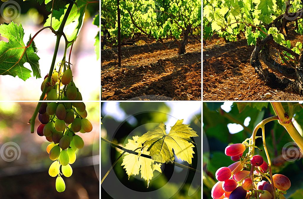 vineyard-collage